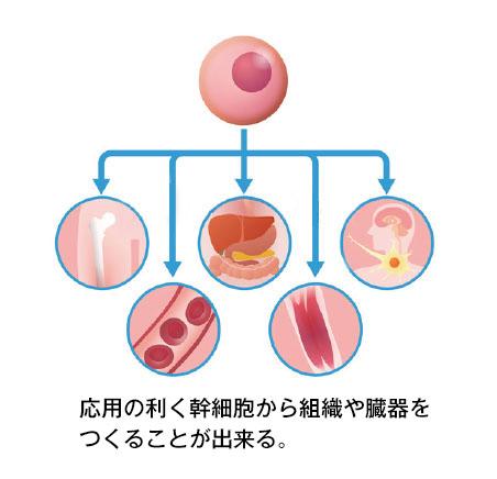 多様性幹細胞